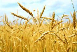 Рынок пшеницы готовится обновить годовые минимумы