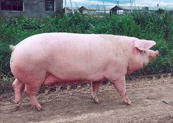 Цена на фьючерс свинины обновила трехнедельный минимум