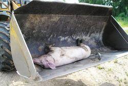 Свиньи в Беларуси могут оказаться под запретом - причины