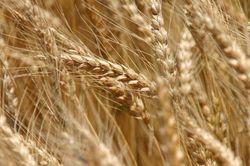 Трейдеры биржи: будет ли хлеб дорожать в мире