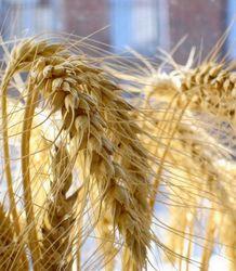 Цены на пшеницу продолжают разнонаправленное движение
