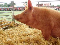 Эксперты: рынок свинины продолжает разнонаправленные торги