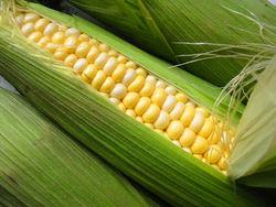 В 2013-2014 МГ мировое производство кукурузы превысит 944 млн. тонн