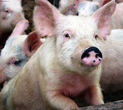 Февральский фьючерс на свинину в мире обвалился к минимумам