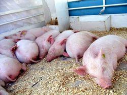 В Литве обнаружена свиная чума