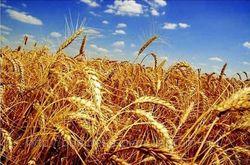 Каковы результаты годового отчета по посевным площадям пшеницы в США?
