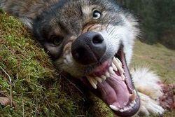 В Крыму волк напал на селян