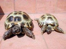 Для чего женщина пыталась вывезти более 2000 черепах?