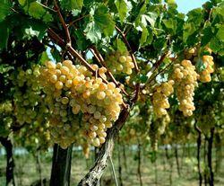 Италия поможет возрождению молдовского виноградарства