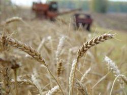 Почему в Кыргызстане подешевела пшеница?