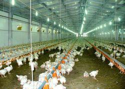 Как в Кыргызстане предлагают лоббировать интересы отечественного птицеводства?