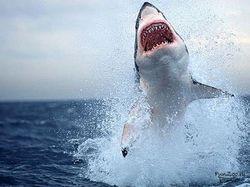 белые акулы