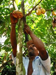 В Кот-д'Ивуар некому собирать какао-бобы: каких цен ждать на рынке?