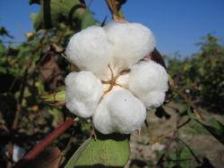 Таджикистан наращивает объемы экспорта хлопка-сырца