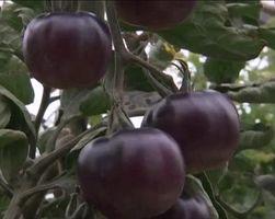 Израильские фермеры вывели помидоры черного цвета
