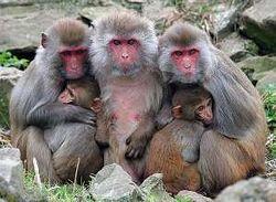Созданы генетически модифицированные обезьяны