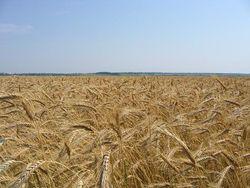 На мировом рынке падают цены на пшеницу