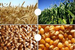кукуруза и пшеница