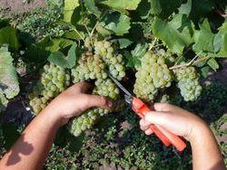 Какова урожайность винограда в Азербайджане?