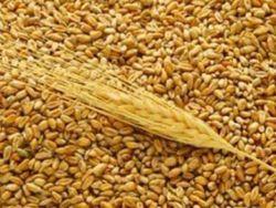 Инвесторам: каким будет 2011/12 маркетинговый год по пшенице?