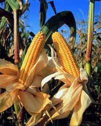 Обзор рынка зерновых. Ждать ли снижение цен на кукурузу?
