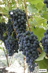 Минсельхоз: «Виноградарям Молдовы катастрофически не хватает инвестиций»