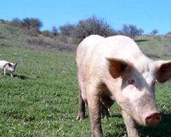 Почему в Литве дешевеет свинина?