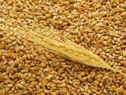 Трейдерам: цены на пшеницу будут расти?