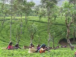 Как Шри-Ланка спасает от мирового дефицита чая?