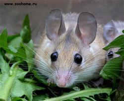 Как ученые установили у мышей способность к пению?