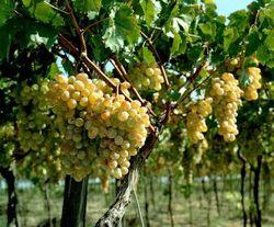 В Таджикистане увеличился урожай фруктов