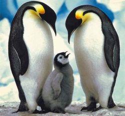 Какими ранее неизвестными способностями обладают пингвины?