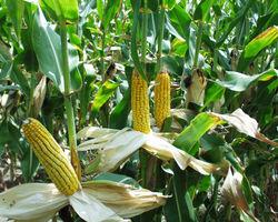 В Грузии продолжится «кукурузная» программа