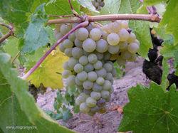 Виноград спасает зрение пожилых людей