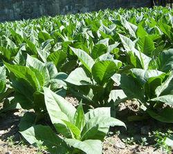 На сколько расширятся площади посева табака в Кыргызстане?