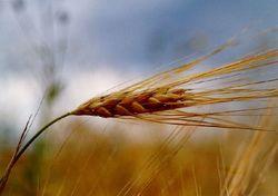 Инвесторам: почему в Литве дешевеет зерно?