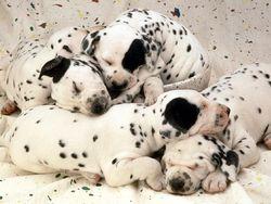 Брестчанка хотела незаконно ввезти полсотни щенков из Польши