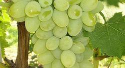 Инвесторам: сколько будет стоить грузинский виноград нынешнего урожая?