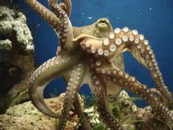 Что стало причиной гибели осьминога Григория?