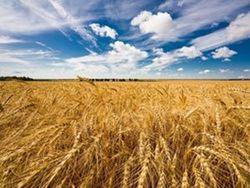 Инвесторам: повышен прогноз по урожаю пшеницы в Казахстане