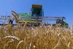 Как проходит сбор зерновых в Кыргызстане?