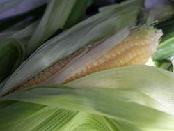 Трейдерам: чего стоит ожидать на рынке кукурузы?