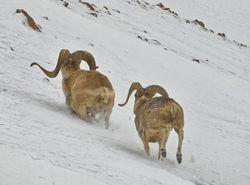 На сколько пополнила таджикскую казну охота на баранов?