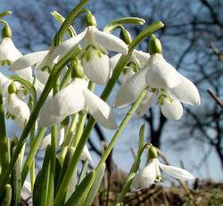 Как объяснить массовое цветение подснежников в Крыму?