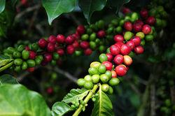 Рынок кофе: инвесторы ожидают коррекции цен