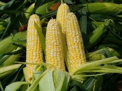 Рынок кукурузы: цены упали после выхода отчёта USDA