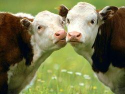 Рынок говядины: на что нужно обратить внимание инвесторам?