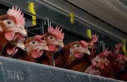 Когда Австрия получит курицу без ГМО?