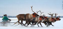 В Эвенкии туристы смогут испробовать новый «олений маршрут»