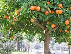 В Абхазии – «мандариновая катастрофа»